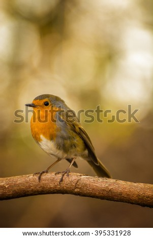 Cute Red Breasted Robin bird perched on a tree branch with warm blurred background. - stock photo