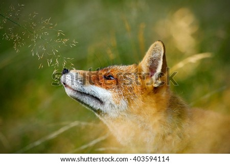 Cute Red Fox, Vulpes vulpes, animal at green forest with grass, in the nature habitat, detail portrait, Germany - stock photo