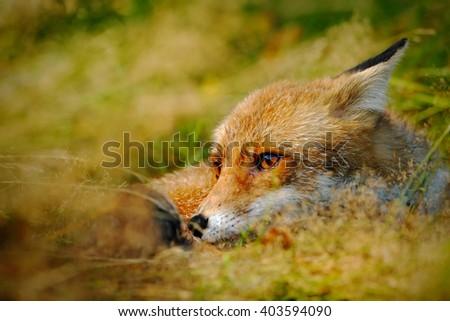 Cute Red Fox, Vulpes vulpes, animal at green forest with stones, in the nature habitat, detail head portrait, Austria - stock photo