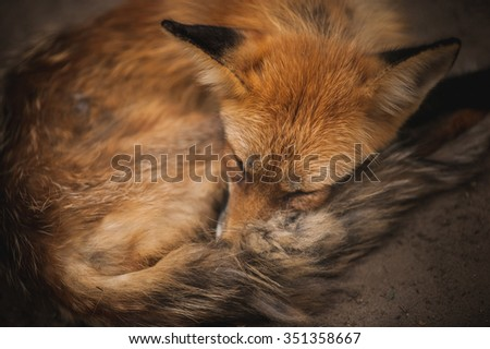 Cute red haired furry fox sleeping adorably curled up