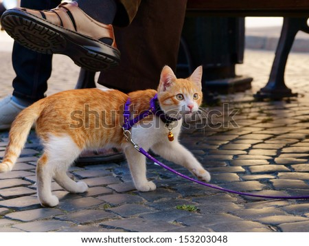 Cute red kitten on a leash walking on a street paving