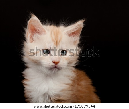Cute red Maine Coon kitten portrait on black background