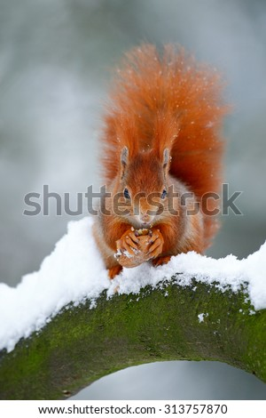 Cute red orange squirrel eats a nut in winter scene with snow - stock photo