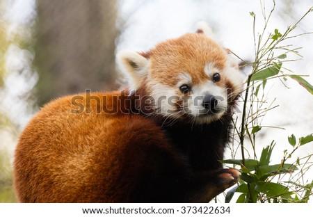 Cute Red Panda (Ailurus fulgens) eating bamboo - stock photo