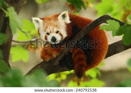 Cute Red panda lying on the tree with green leaves - stock photo