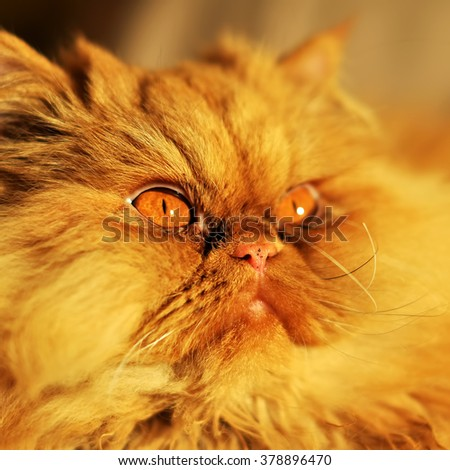 Cute red Persian cat portrait with big orange eyes - stock photo
