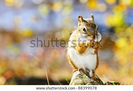 Cute red squirrel eating nut sitting on rock - stock photo