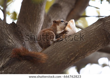 Cute red squirrel in autumn golden light eating coconut