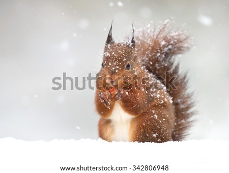 Cute red squirrel in the falling snow, winter in England - stock photo