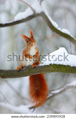 Cute red squirrel in winter scene with snow blurred forest in the background - stock photo