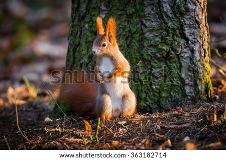 Cute red squirrel watches forest warily, standing on the floor in front of the tree trunk