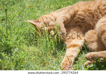 cute red tabby cat playing with a daisy - stock photo