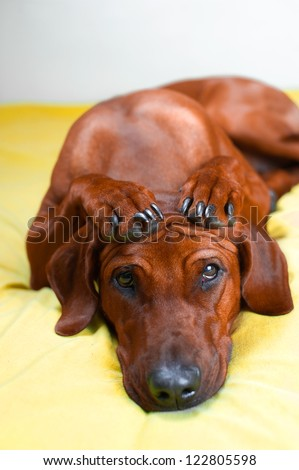 Cute rhodesian ridgeback dog puppy with paws crossed on her head - stock photo