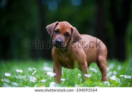 Cute rhodesian ridgeback puppy in a park - stock photo