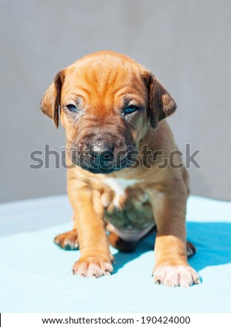 Cute Rhodesian Ridgeback puppy it sitting on a blue background. The little dog is six weeks of age.