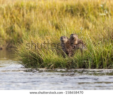 Cute River otters posing taken on the madison river in Montana - stock photo