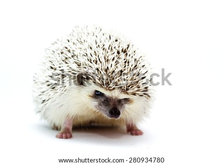 cute rodent african pygmy hedgehog baby color grey high snowflake