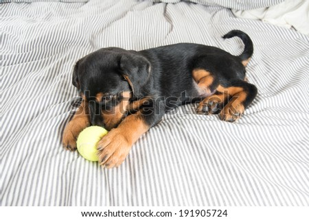 Cute Rottweiler Mix Puppy Playing on Striped White and Gray Sheets on Human Bed Surrounded by Tennis Balls - stock photo