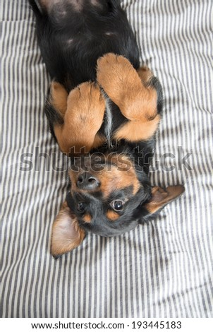 Cool Rottweiler Chubby Adorable Dog - stock-photo-cute-rottweiler-mix-puppy-sleeping-on-its-back-on-striped-white-and-gray-sheets-on-human-bed-193445183  2018_708687  .jpg