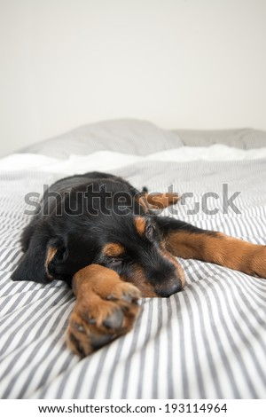 Cute Rottweiler Mix Puppy Sleeping on Striped White and Gray Sheets on Human Bed  - stock photo
