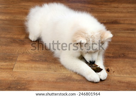 Cute Samoyed dog chewing firewood on wooden floor background - stock photo