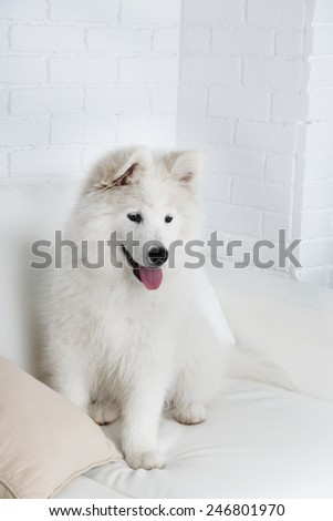 Cute Samoyed dog on sofa with pillow on brick wall background - stock photo