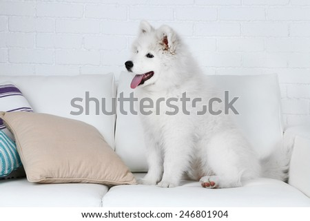 Cute Samoyed dog on sofa with pillows on brick wall background - stock photo