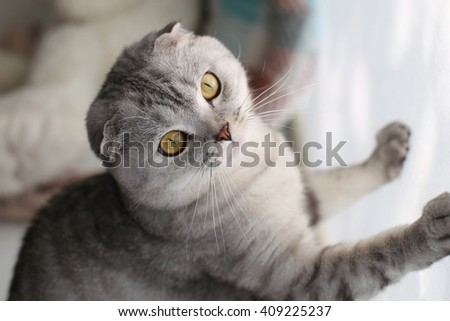 Cute Scottish Fold cat rests his paws on the wall. Selective focus
