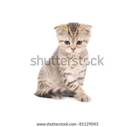 Cute scottish kitten isolated on white