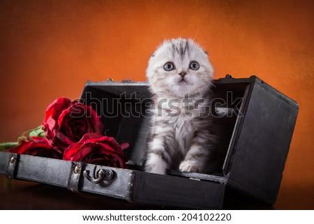 Cute Scottish kitten on bright background - stock photo