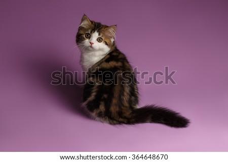 Cute Scottish straight Kitten Sits nd Looking back on Purple Background - stock photo