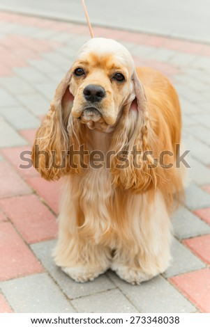 Cute serious sporting dog breed American Cocker Spaniel  with Fawn or Golden coat standing - stock photo