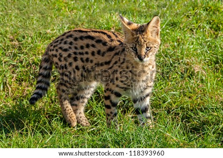 Cute Serval Kitten Standing on Grass Leptailurus Serval - stock photo