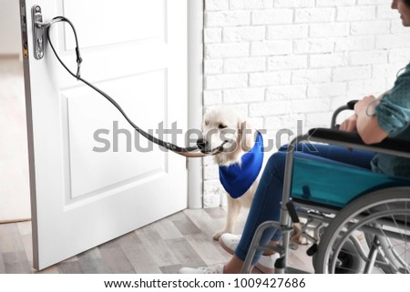 Cute service dog opening door for woman in wheelchair indoors & Cute Service Dog Opening Door Woman Stock Photo (Edit Now)- Shutterstock