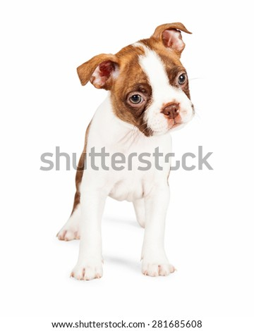 Cute seven week old Boston Terrier puppy standing and tilting his head to the side - stock photo