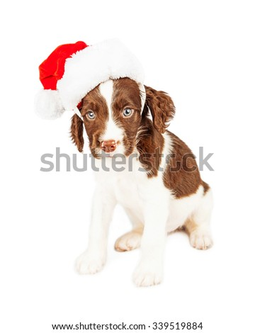 Cute seven week old English Springer Spaniel puppy dog wearing a Christmas Santa Claus hat - stock photo
