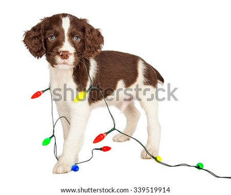 Cute seven week old puppy with Christmas lights wrapped around him - stock photo