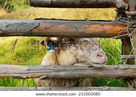 Cute sheep behind fence - stock photo