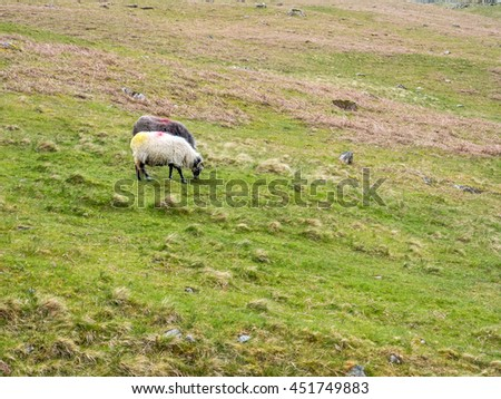 Cute sheep cattle feed on green grass on hill in countryside of England