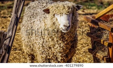 Cute sheep in Colonial Williamsburg, Virginia, USA - stock photo