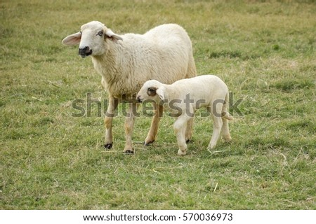 cute sheep in nature garden