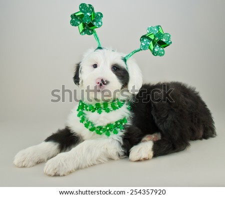 Cute Sheepdog puppy  all ready for St Patrick's Day, wearing a shamrock headband and necklaces.