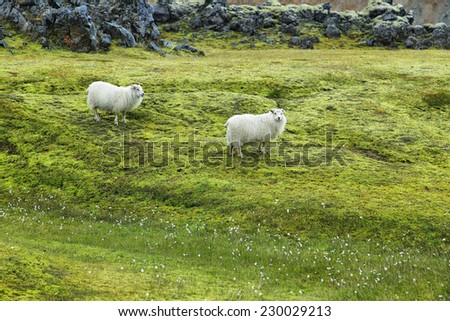 Cute sheeps staring to the camera in Landmannalaugar, Iceland