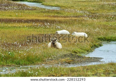 Cute sheeps staring to the camera in Vondugil area of Landmannalaugar, Iceland