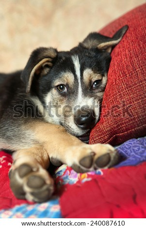 cute shepherd puppy on the bed - stock photo