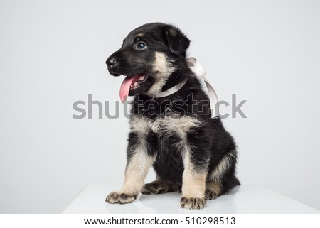 Cute shepherd puppy on white background. Alsatian puppy isolated on white