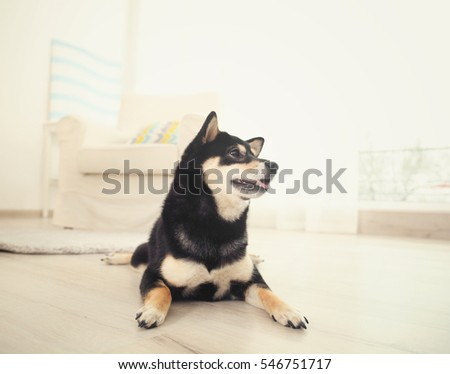 Cute Shiba inu dog on floor in room