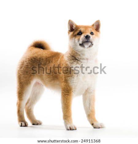 Cute Shiba Inu puppy on a white background - stock photo