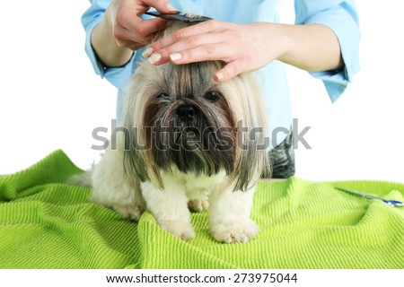 Cute Shih Tzu and hairdresser in barbershop - stock photo