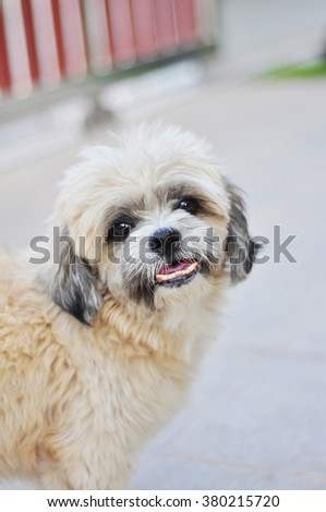 cute Shih tzu dog outdoors on a relax day selective focus  - stock photo
